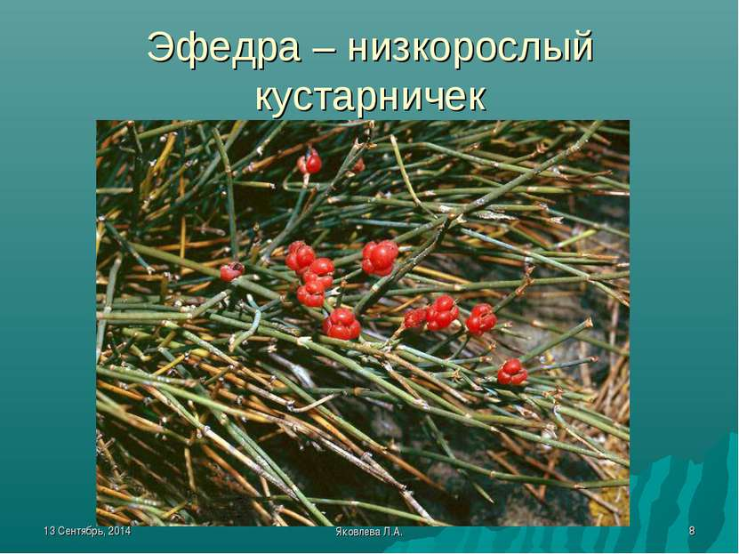 * Яковлева Л.А. * Эфедра – низкорослый кустарничек Яковлева Л.А.