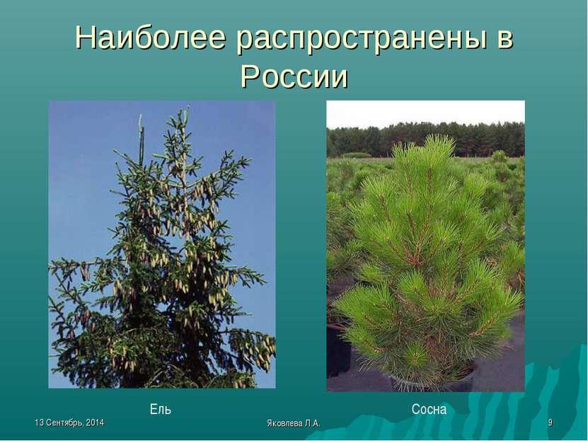 * Яковлева Л.А. * Наиболее распространены в России Ель Сосна Яковлева Л.А.