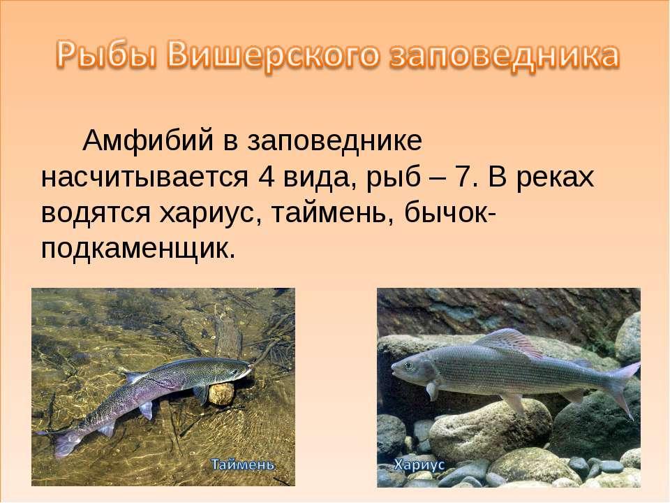 Амфибий в заповеднике насчитывается 4 вида, рыб – 7. В реках водятся хариус, ...