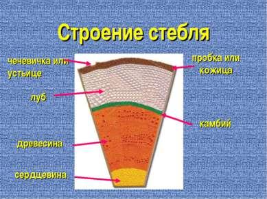 Строение стебля пробка или кожица чечевичка или устьице луб древесина сердцев...