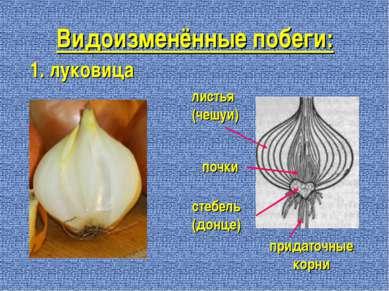 Видоизменённые побеги: 1. луковица придаточные корни стебель (донце) листья (...