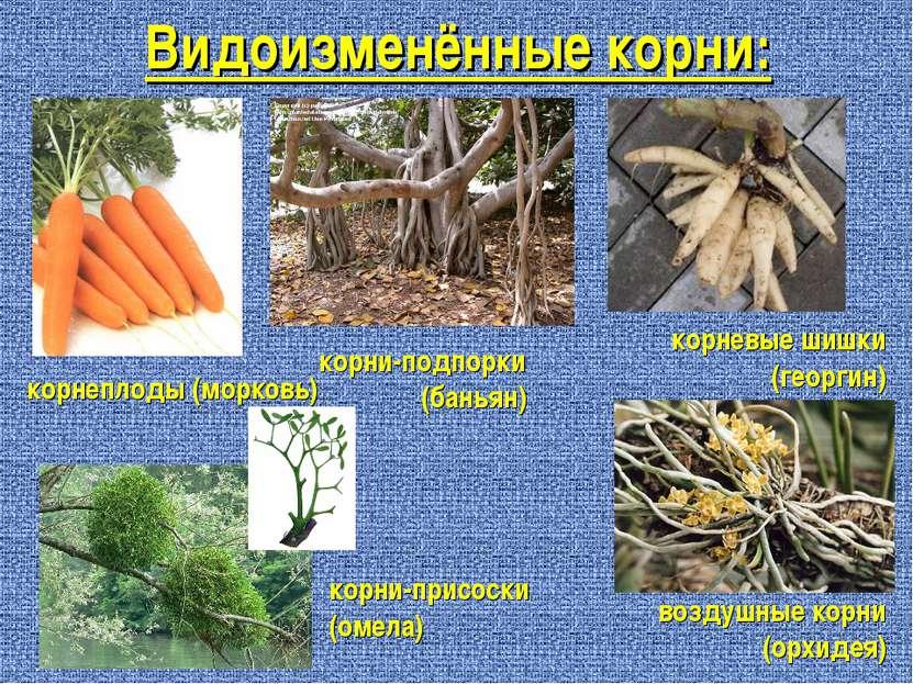 Видоизменённые корни: корнеплоды (морковь) корни-подпорки (баньян) корневые ш...