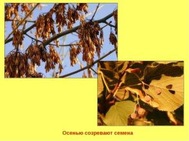 Осенью созревают семена