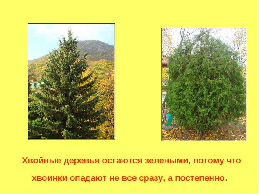 Хвойные деревья остаются зелеными, потому что хвоинки опадают не все сразу, а...