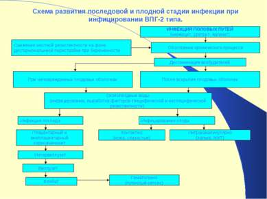 Схема развития последовой и плодной стадии инфекции при инфицировании ВПГ-2 т...