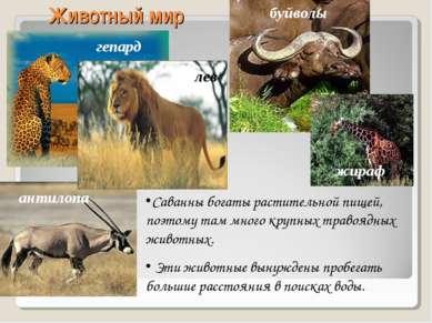Животный мир гепард антилопа буйволы жираф лев Саванны богаты растительной пи...