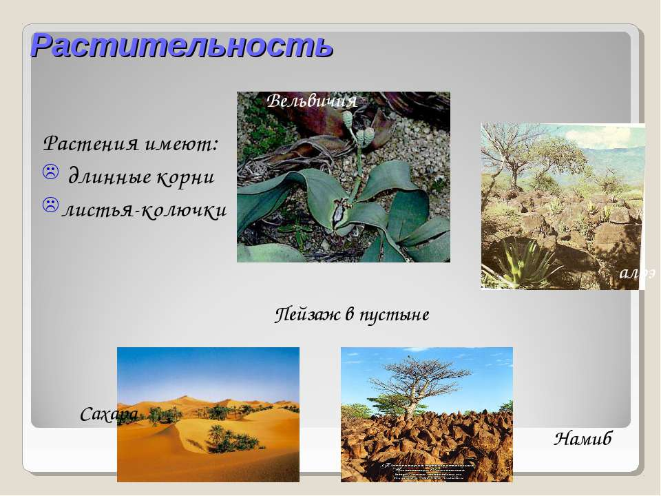 Растительность Растения имеют: длинные корни листья-колючки Вельвичия Пейзаж ...