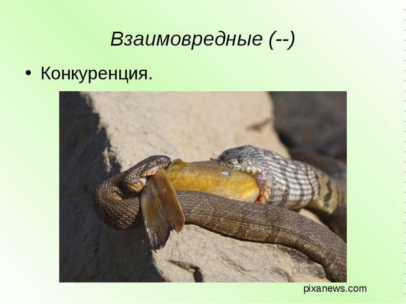 Взаимовредные (--) Конкуренция. pixanews.com
