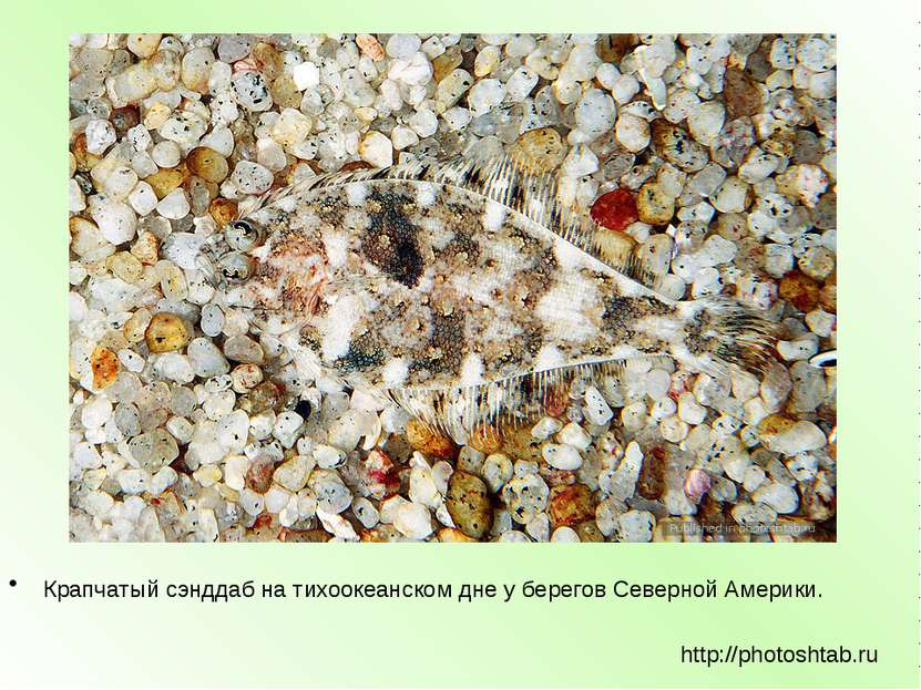 Крапчатый сэнддаб на тихоокеанском дне у берегов Северной Америки. http://pho...