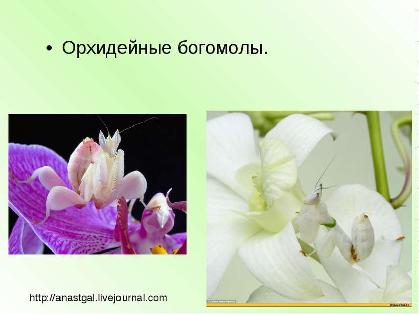 Орхидейные богомолы. http://anastgal.livejournal.com