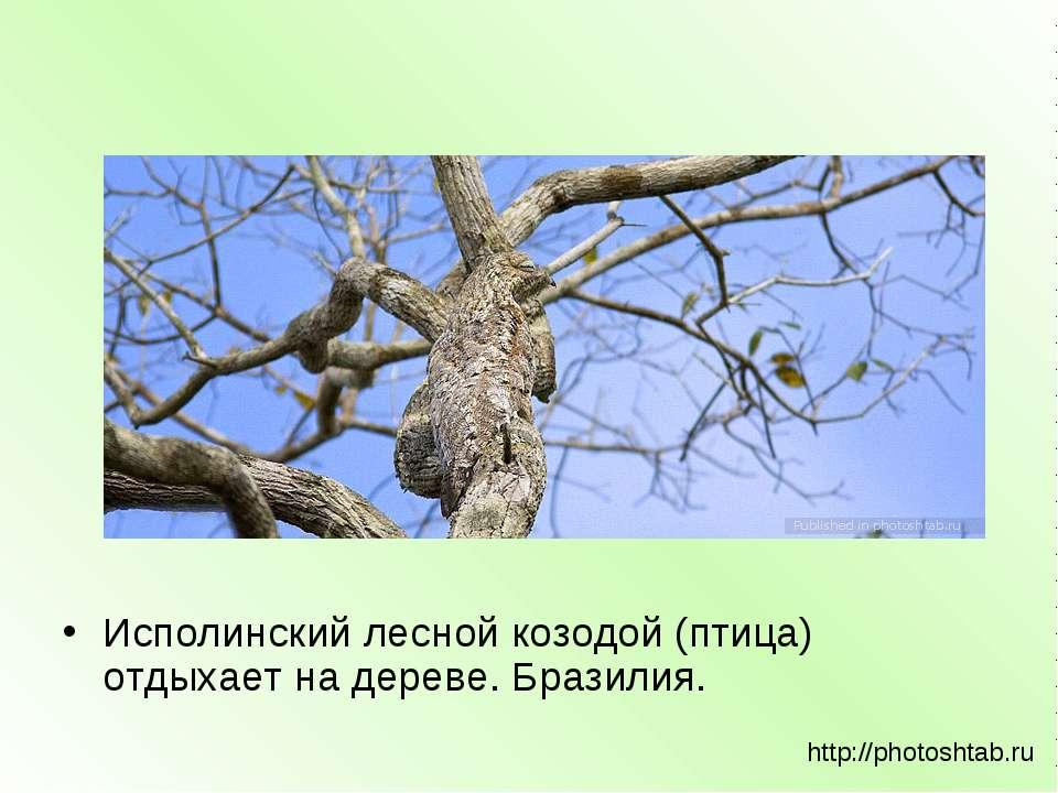 Исполинский лесной козодой (птица) отдыхает на дереве. Бразилия. http://photo...
