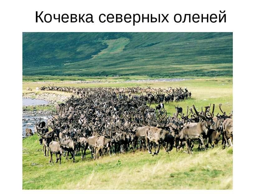 Кочевка северных оленей