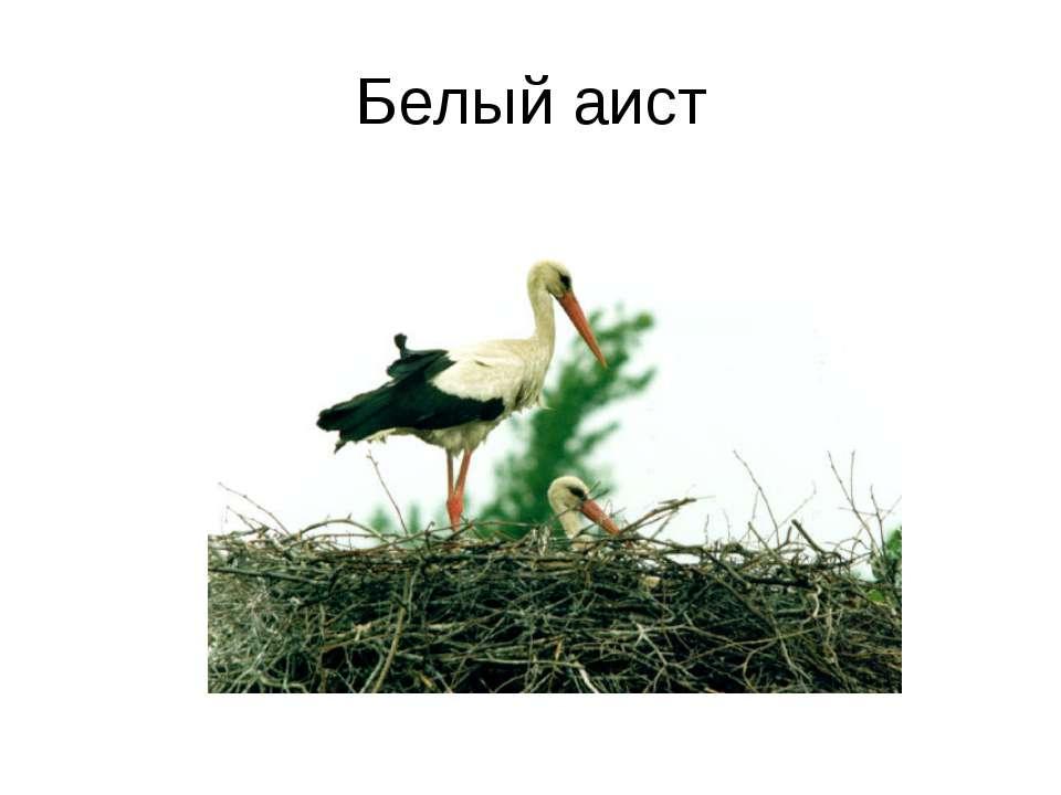 Белый аист