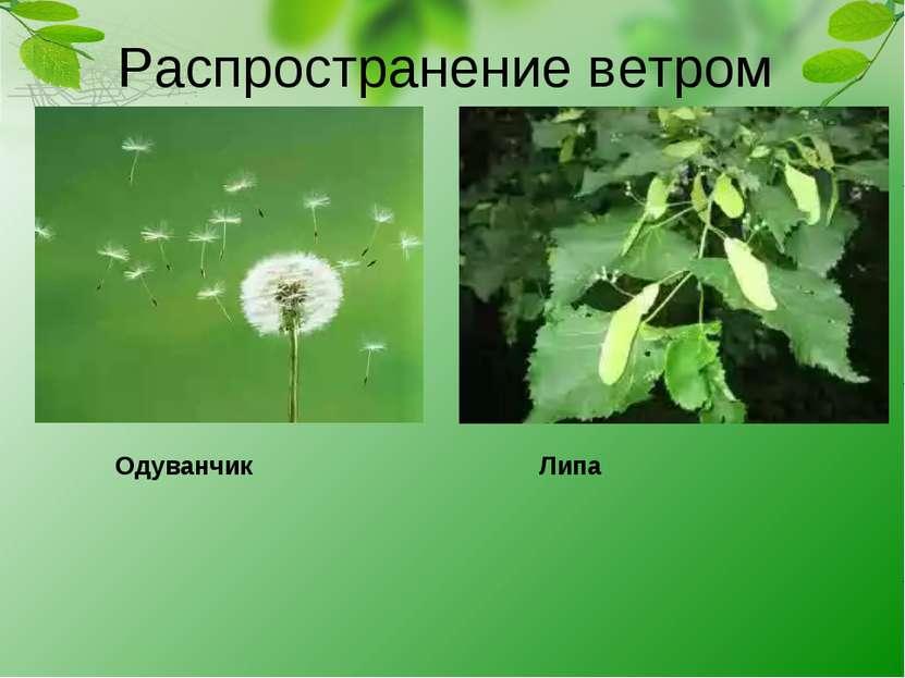 Распространение ветром Одуванчик Липа
