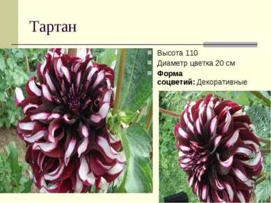 Тартан Высота 110 Диаметр цветка 20 см Форма соцветий:Декоративные