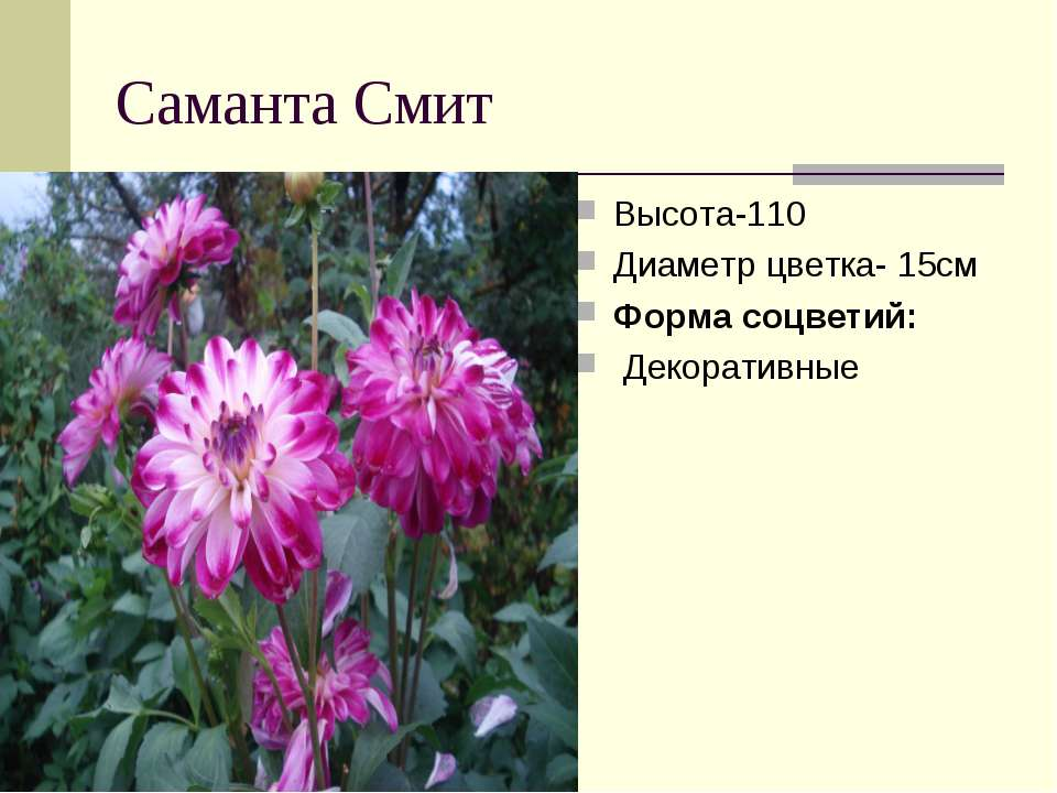 Саманта Смит Высота-110 Диаметр цветка- 15см Форма соцветий: Декоративные
