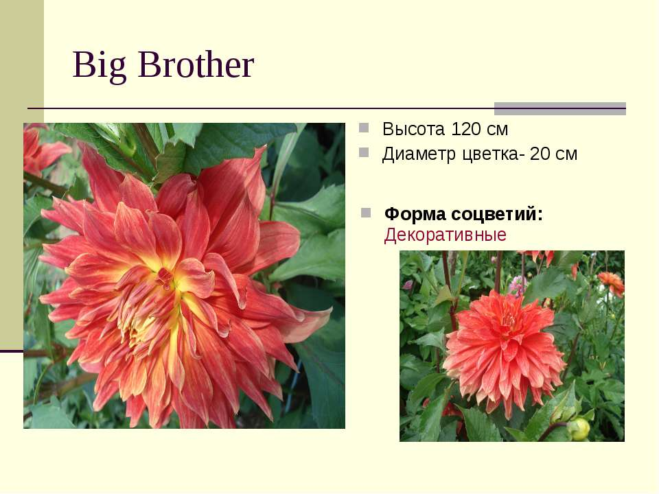 Big Brother Высота 120 см Диаметр цветка- 20 см Форма соцветий:Декоративные