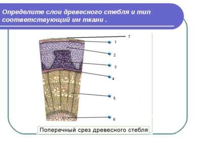 Определите слои древесного стебля и тип соответствующий им ткани .