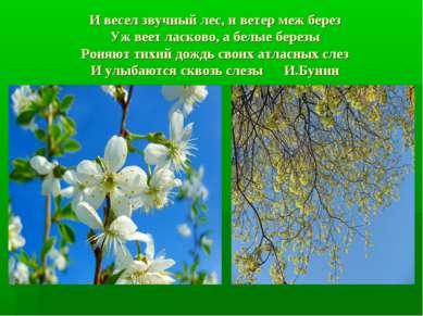 И весел звучный лес, и ветер меж берез Уж веет ласково, а белые березы Роняют...
