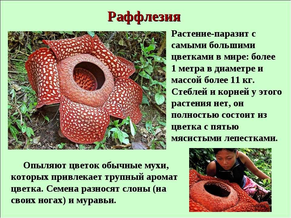 Раффлезия Растение-паразит с самыми большими цветками в мире: более 1 метра в...