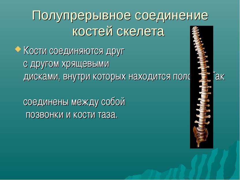 Полупрерывное соединение костей скелета Кости соединяются друг с другом хряще...