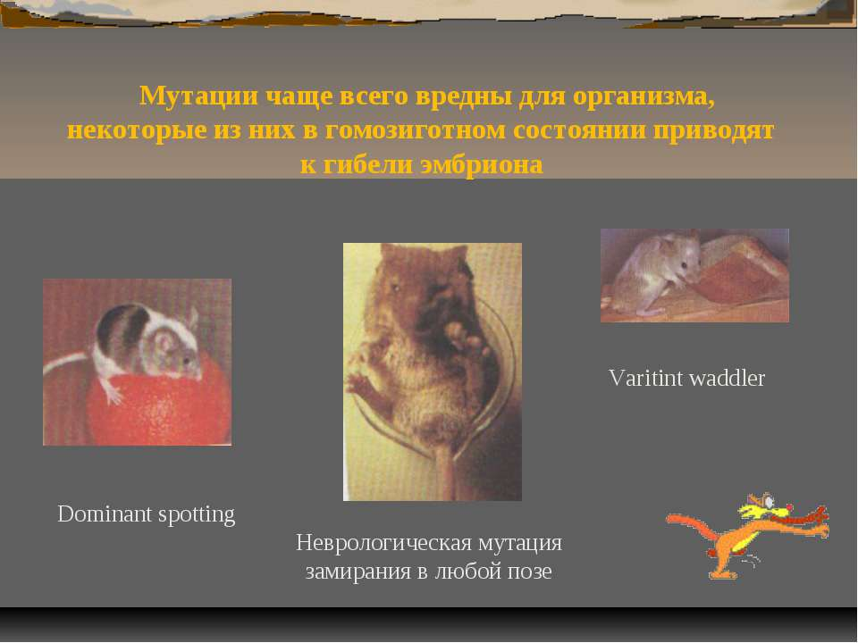 Мутации чаще всего вредны для организма, некоторые из них в гомозиготном сост...