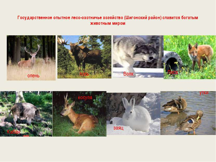 Государственное опытное лесо-охотничье хозяйство (Шигонский район) славится б...