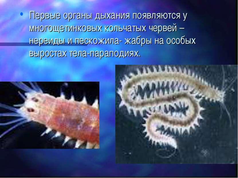 Первые органы дыхания появляются у многощетинковых кольчатых червей –нереиды ...