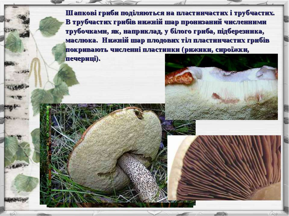 Шапкові гриби поділяються на пластинчастих і трубчастих. В трубчастих грибів ...