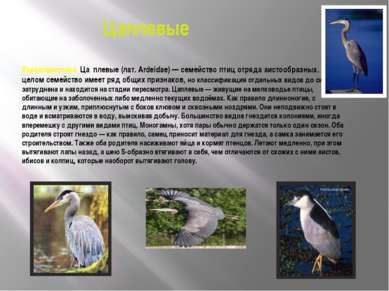 Цаплевые Характеристика. Ца плевые (лат. Ardeidae) — семейство птиц отряда аи...