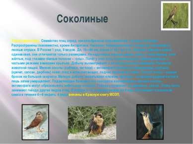 Соколиные Характеристика. Семейство птиц отряд. соколообразные подсемейства, ...