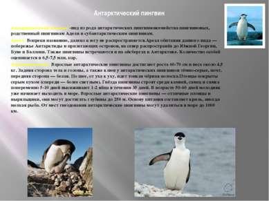 Антарктический пингвин Антарктический пингвин -вид из рода антарктических пин...