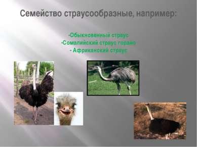 Семейство страусообразные, например: -Обыкновенный страус -Сомалийский страус...