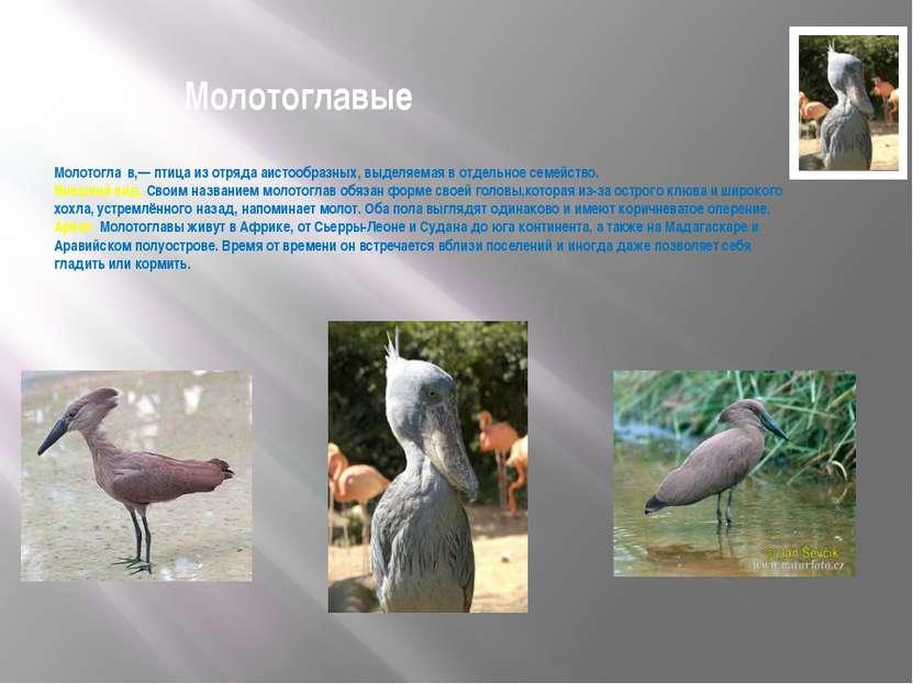 Молотоглавые Молотогла в,— птица из отряда аистообразных, выделяемая в отдель...