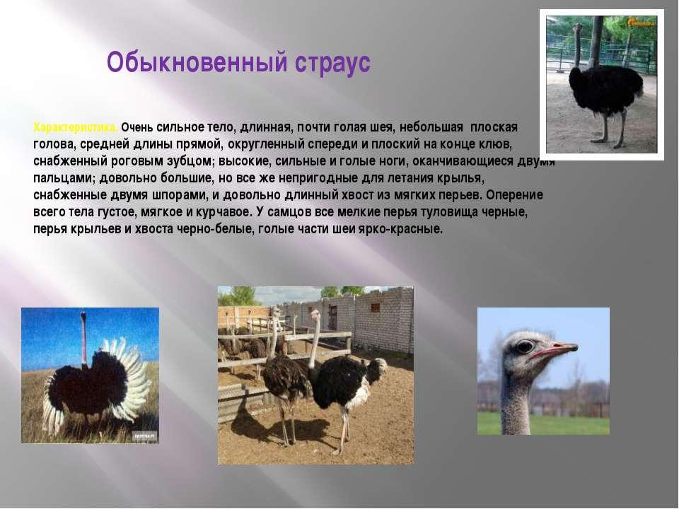Обыкновенный страус Характеристика. Очень сильное тело, длинная, почти голая ...