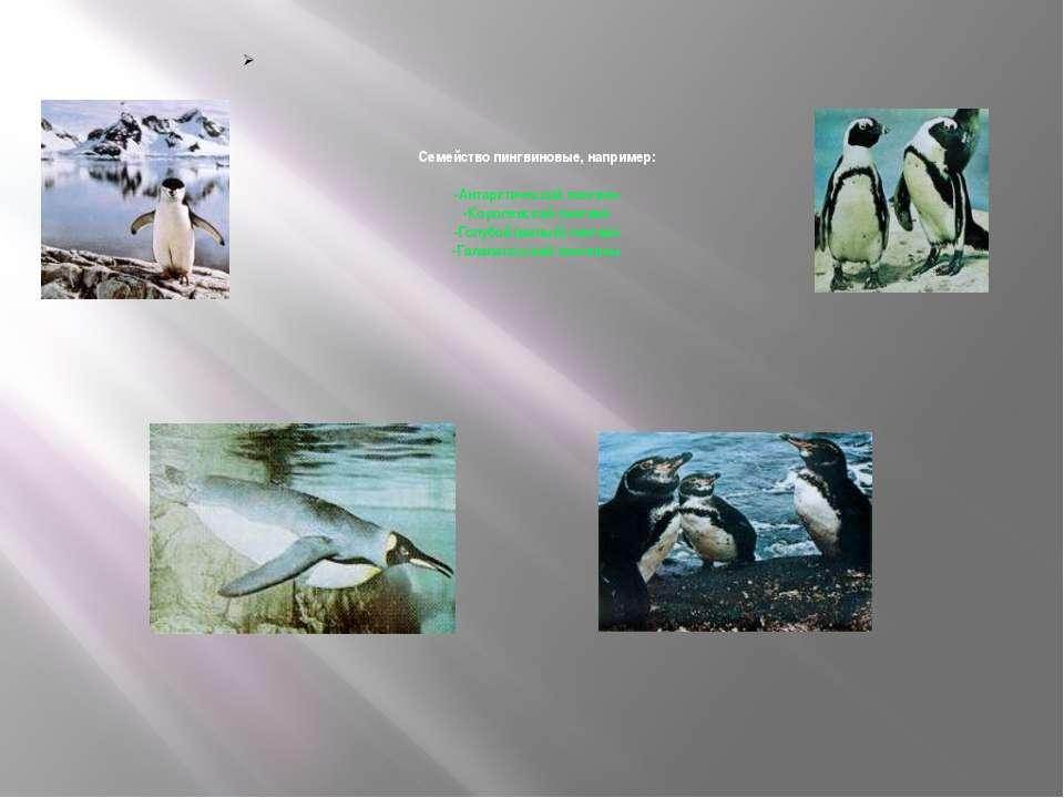 Семейство пингвиновые, например: -Антарктический пингвин -Королевский пингвин...
