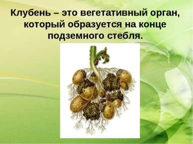Клубень – это вегетативный орган, который образуется на конце подземного стебля.