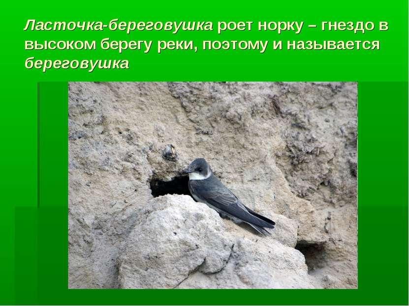 Ласточка-береговушка роет норку – гнездо в высоком берегу реки, поэтому и наз...