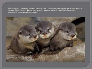 Детёныши (1—6 в выводке) родятся в апреле—мае. Они полузрячие, хорошо опушённ...