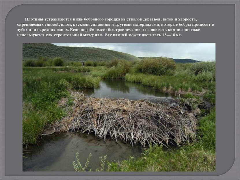 Плотины устраиваются ниже бобрового городка из стволов деревьев, веток и хвор...