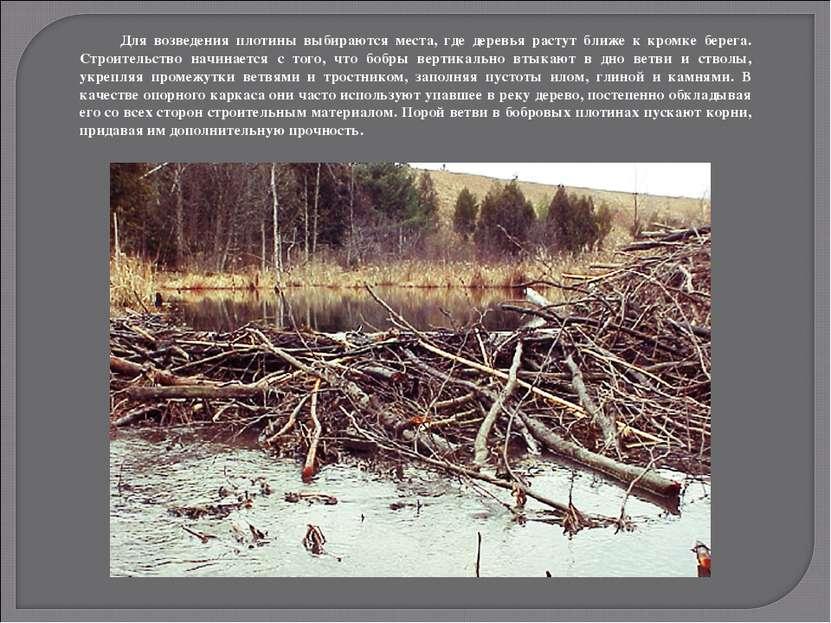 Для возведения плотины выбираются места, где деревья растут ближе к кромке бе...