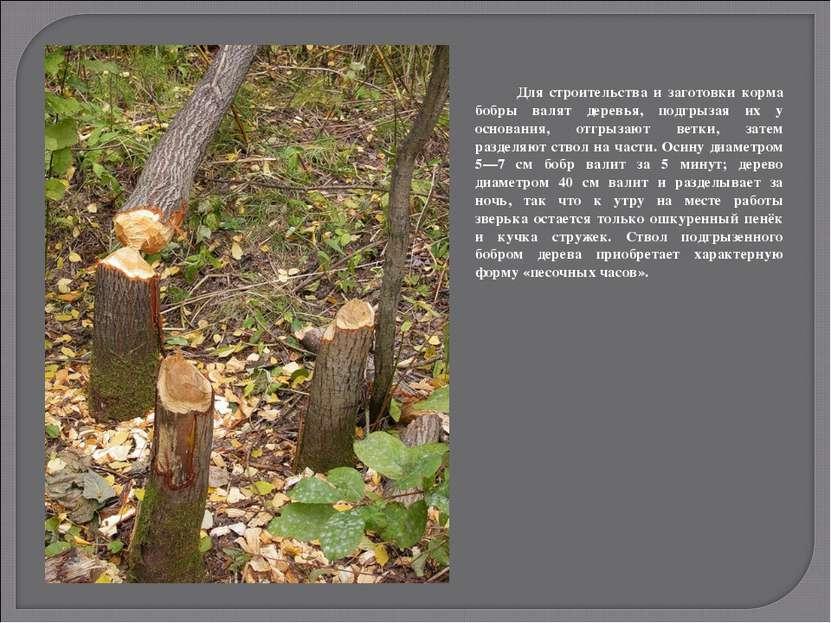 Для строительства и заготовки корма бобры валят деревья, подгрызая их у основ...