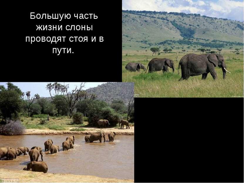 Большую часть жизни слоны проводят стоя и в пути.