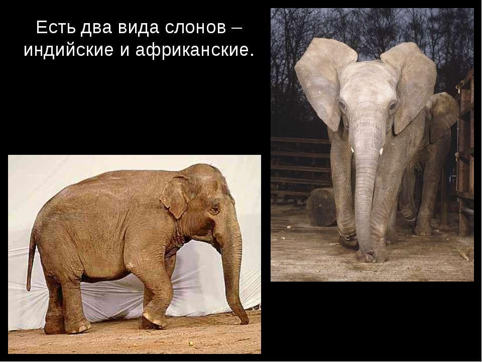 Есть два вида слонов – индийские и африканские.