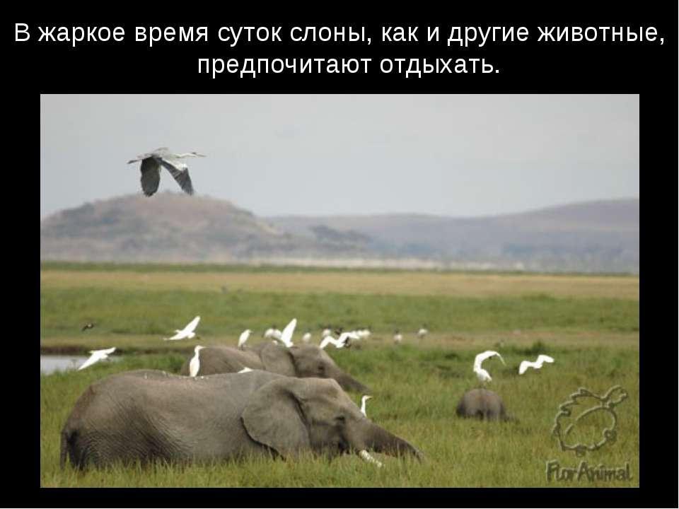 В жаркое время суток слоны, как и другие животные, предпочитают отдыхать.