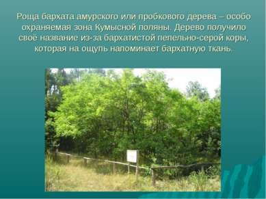 Роща бархата амурского или пробкового дерева – особо охраняемая зона Кумысной...