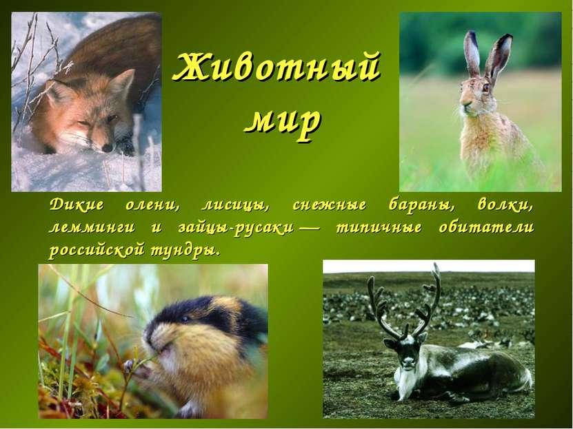 Животный мир Дикие олени, лисицы, снежные бараны, волки, лемминги и зайцы-рус...