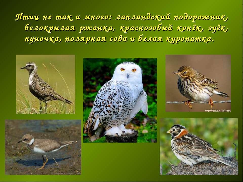 Птиц не так и много: лапландский подорожник, белокрылая ржанка, краснозобый к...