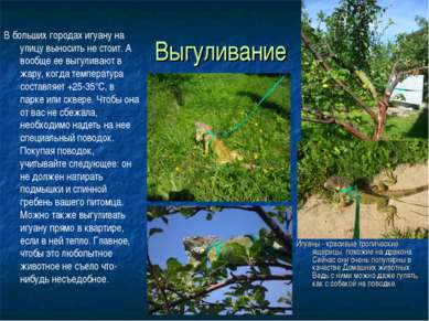 Выгуливание . Игуаны - красивые тропические ящерицы, похожие на дракона. Сейч...