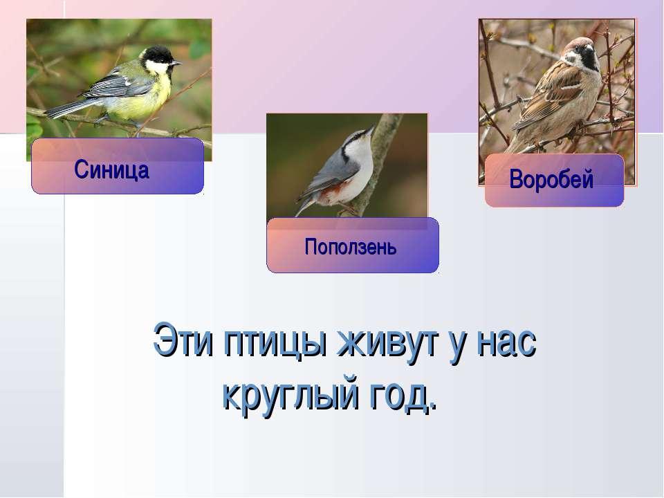 Эти птицы живут у нас круглый год.